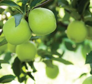 apple stem cells
