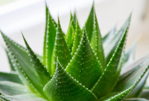 Aloe Vera Natural Skin Care ingredient